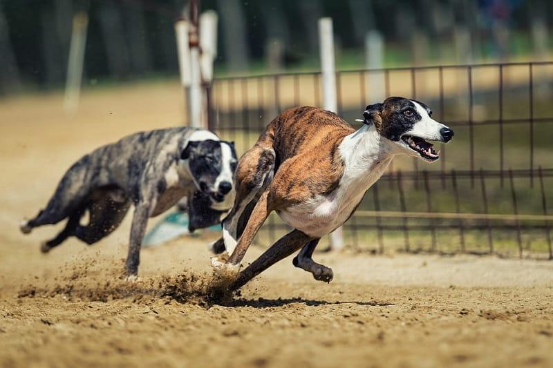 Zwei Greyhounds liefern sich ein Kopf-an-Kopf-Rennen.