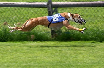 Ein Greyhound im Vollspeed.
